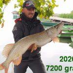 2020 10. 01. 7200 gramm, 92 cm. MOHOSZ  Szepezdfürdői Horgásztanyán fogott csuka